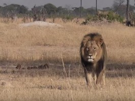 Cecil The Lion Zimbabwe
