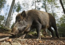 Wild Boar Populations Growing Across Europe