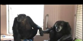 Chimpanzee Holds