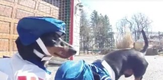 Dachshunds-face-off-in-driveway-hockey-game