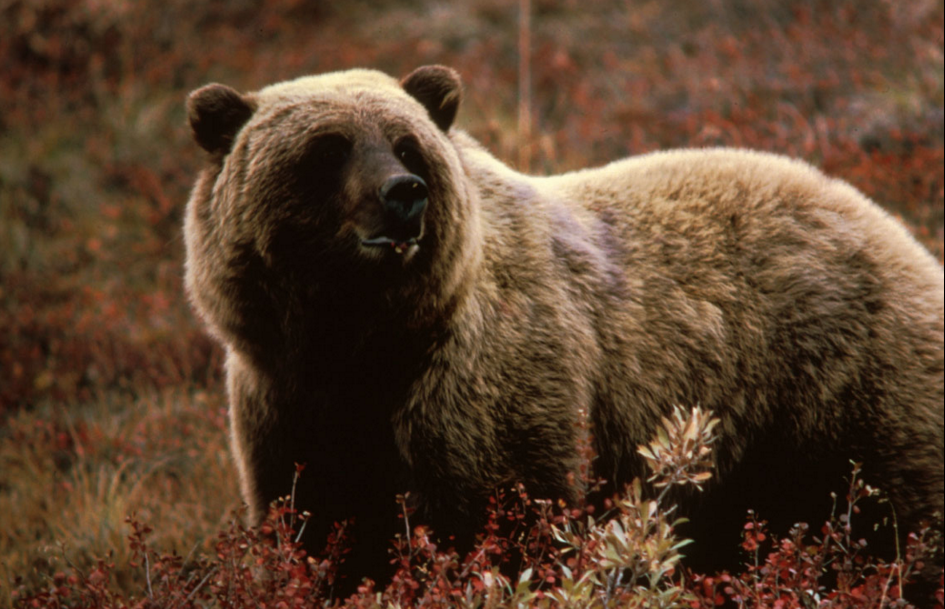Deadly Attack! Cyclist in northern USA killed by grizzly bear