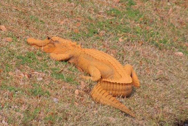 Five reasons why this alligator in Charleston is orange
