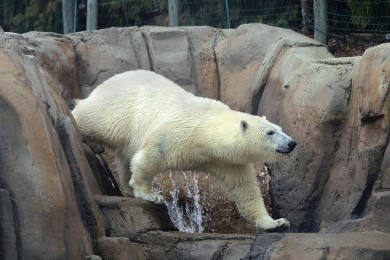 Nora the polar bear moving again; this time to Utah