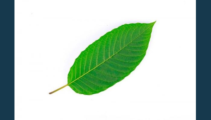 Kratom Linked to Nationwide Salmonella Outbreak