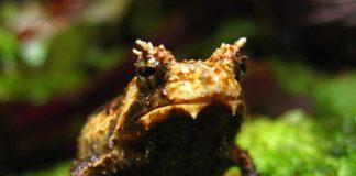 Limnonectes larvaepartus Fanged Frog