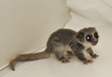 Fat Tailed Dwarf Lemur - Gephardt Daily