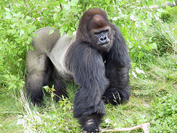 Zoo Gorilla Tino Euthanized