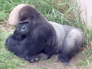 Gorilla_Tino2