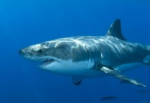 Great White Shark Mary Lee