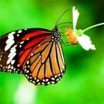 'Habitat-enhanced' Vineyards are Good for Butterflies