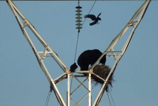 Black Bear invades Raven's Nest