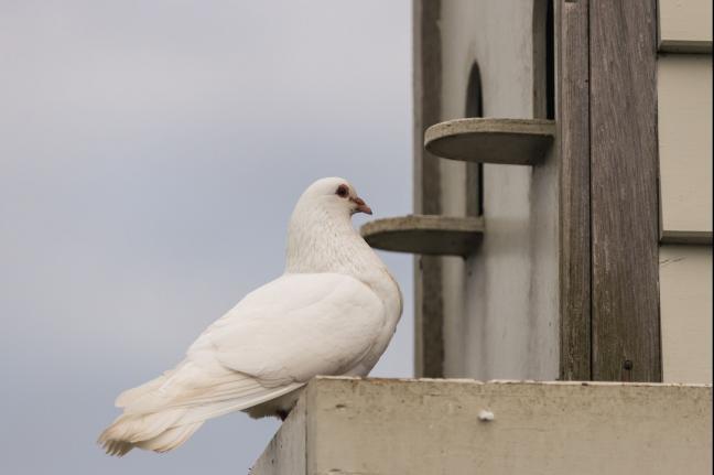 Pigeon as '