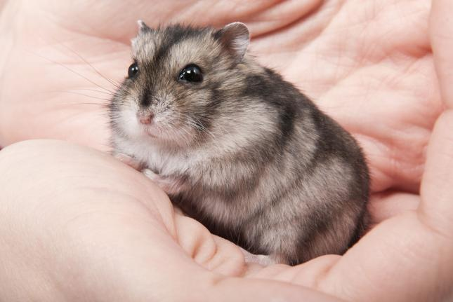 A hamster being held. Photo by Hintau Aliaksei/Shutterstock