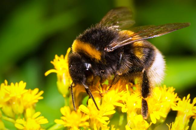 Bee Populations Face Another Threat