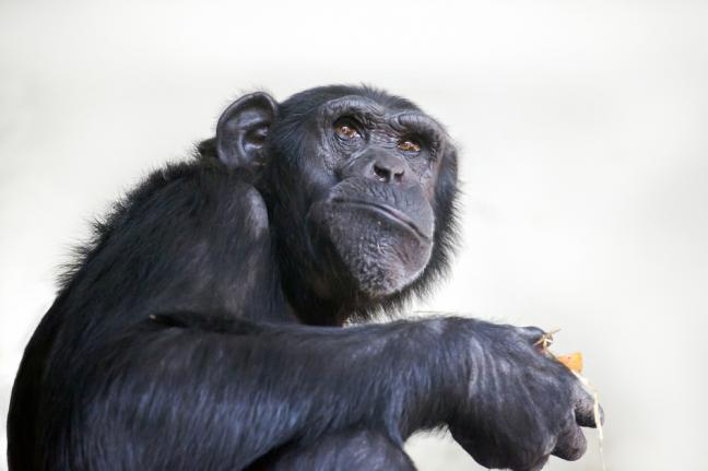 Chimpanzees Would Cook Their Food