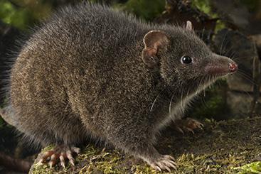 New Marsupial Species