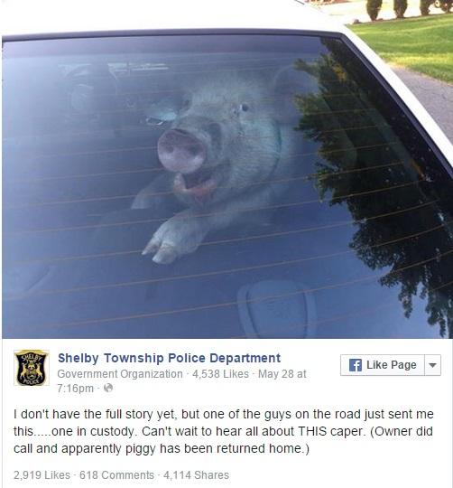Escaped Pig Makes a Mess