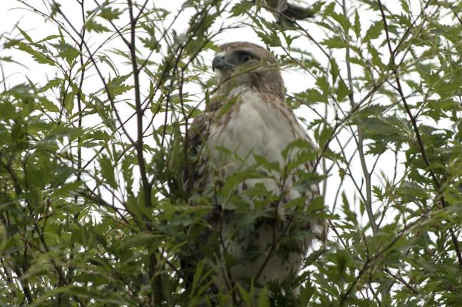 Red-Tailed Hawk Takes Up Residence on White House Grounds