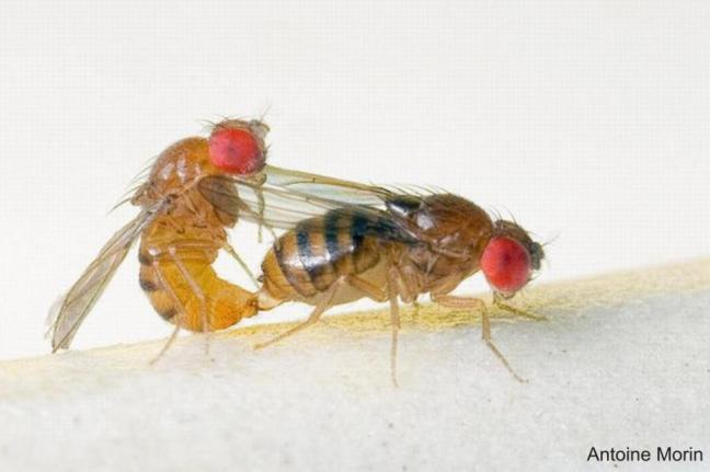 A Pair Of Mating Flies Photo By University Queensland Antoine Morin