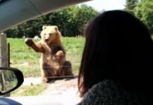 Washington State Farm Bear Waves Back