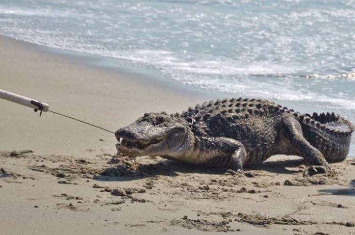 Seven Foot Alligator Out of Ocean In SC