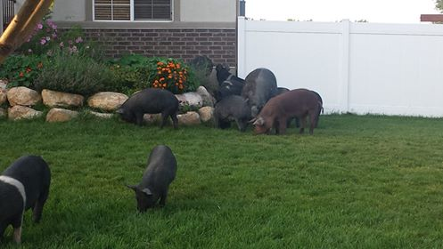 Roaming Pigs in Provo