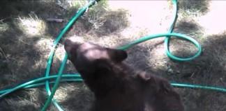 Bear Plays with Garden Hose
