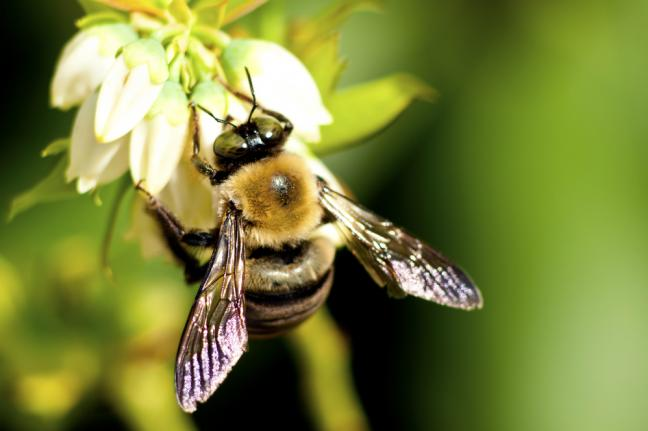 Bumblebee Pattern Changed by Pollen Load