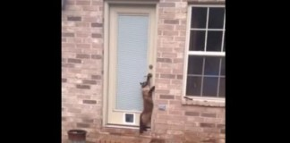 Cat turning handle to enter house