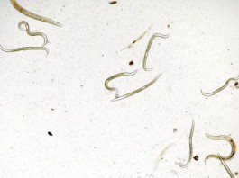 Nematode Worms Affected by Starvation