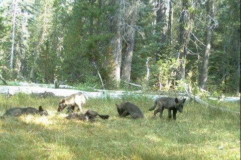 Gray Wolf Pack Seen in California