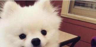 Pomeranian Dog Sneeze Goes Viral