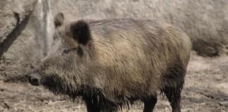 Scicily Boar Hunt