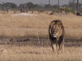 Cecil The Lion Zimbabwe