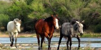 Wild Horses from Tonto National Forest Arizona