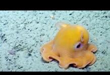 Dumbo Octopus Off California