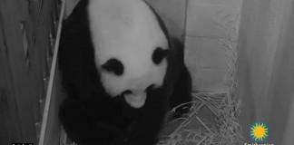 National Zoo Mei Xiang Panda Gives Birth