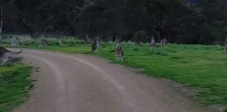 Cyclist Confronted With Kangaroo