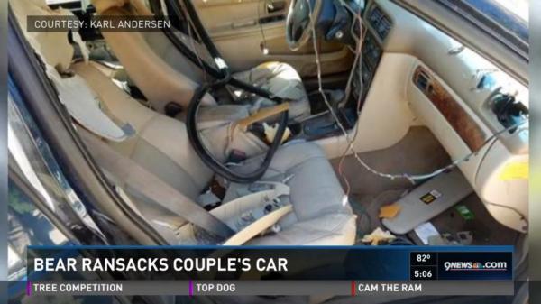 bear destroys interior of car after closing self inside. Black Bedroom Furniture Sets. Home Design Ideas