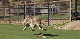 Cheetah Indianapolis Zoo