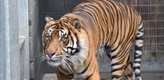 Tiger Attacks and kIlls zooker