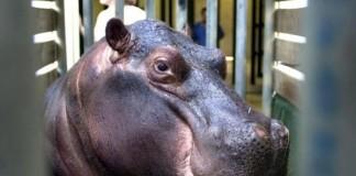 Drunk Man Blamed Injuries On Hippo