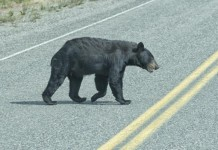 Bear-attacks-man-in-Florida-on-eve-of-first-legal-hunt-in-20-years