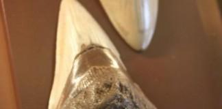 Enormous Fossilized Shark Teeth Found