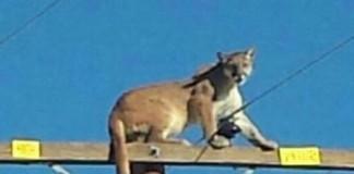 Mountain Lion on Power Pole