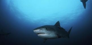 Shark in Hawaii