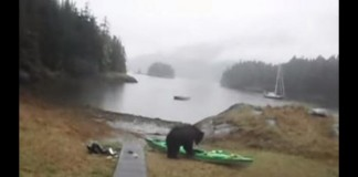 Bear Making a meal out of Kayak