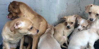 29 Odgen Chihuahua Pups