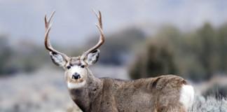 Tips For Utah's Rifle Buck Deer Hunt