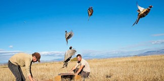 DWR To Release 13,000 Pheasants